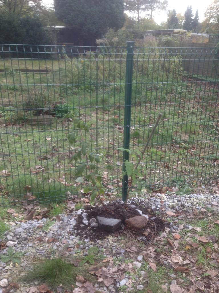 Ein erster Versuch - Himbeeren am Zaun